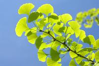 Fresh green ginkgo Stock photo [769333] Ginkgo