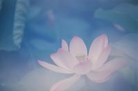 Lotus flowering Stock photo [770051] Lotus