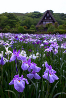 Iris garden Stock photo [770328] Garden