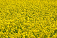 Rape field Stock photo [771543] Rape