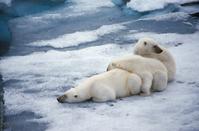 Arctic Polar Bear Stock photo [771852] The