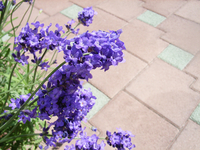 Lavender Stock photo [32731] Purple