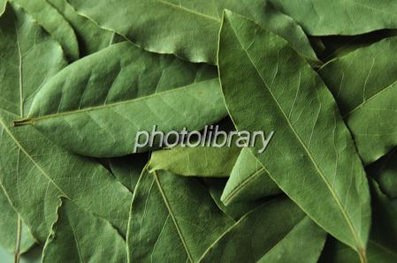 ローリエ-写真素材 ローリエ 画像ID 856465   写真素材