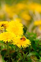 Dandelion Stock photo [844321] Honey