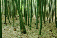 Bamboo forest Stock photo [844476] Bamboo