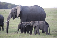 Parent-child of African elephant Stock photo [844791] Africa