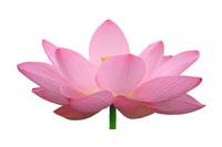 Lotus Flower Stock photo [844993] Lotus