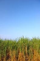 Okinawa sugarcane field Stock photo [845629] Okinawa