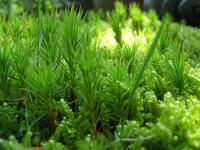 Polytrichum juniperinum Stock photo [846803] Cedar