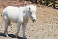 White pony Stock photo [847366] Pony