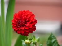 Red dahlia Stock photo [847919] Dahlia