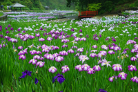 Iris garden of rain Stock photo [851941] IRIS