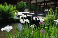 Kamigamo Shrine and iris Stock photo [853234] Acorus
