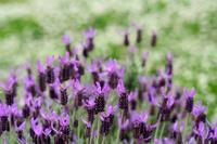 French lavender Stock photo [853372] Lavender