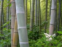 Moso bamboo Stock photo [853443] Bamboo