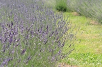 Lavender Stock photo [853523] Lavender