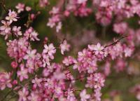 Prunus japonica Stock photo [853934] Prunus