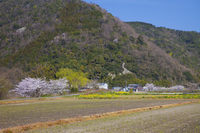 Spring landscape Omihachiman Stock photo [855214] Cherry