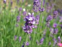 Lavender Stock photo [856608] Flower