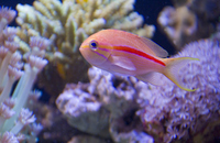 Saltwater fish Sujihanadai Stock photo [856695] Sujihanadai