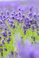 Fields of lavender Stock photo [856748] Lavender
