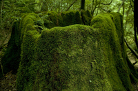 Yakushima of moss Stock photo [857036] Yakushima