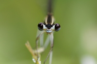Black damselflies Stock photo [924469] Insect