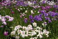 Iris of Horikiri iris garden Stock photo [926090] Acorus