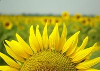 Sunflower Stock photo [926455] Sunflower