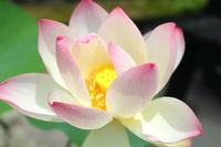 Lotus Stock photo [926802] Summer