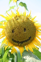 Smile sunflower Stock photo [927346] Sunflower