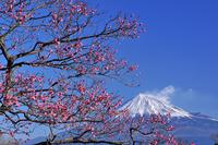 Plum and Mount Fuji Stock photo [928341] Mt.
