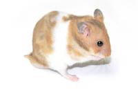 Golden hamster Stock photo [930151] Golden