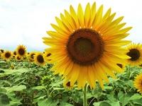 Sunflower field Stock photo [930491] Sunflower