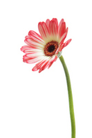 Pink and white gerbera Stock photo [932542] Gerbera