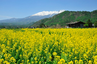 Rape field visible Ontakesan of Kiso Stock photo [1026176] Mt.