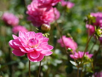 Pink dahlia Stock photo [1028145] Dahlia