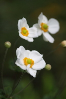 Anemone hupehensis Stock photo [1028256] Anemone