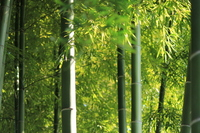 Bamboo forest Stock photo [1028950] Bamboo