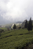 Tea field Stock photo [1033443] India