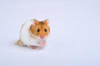Golden hamster Stock photo [1139647] Hamster