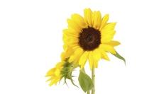 Sunflower Stock photo [1141046] Sunflower