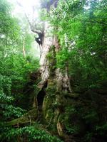 Yakushima Great cedar Stock photo [1141871] Great