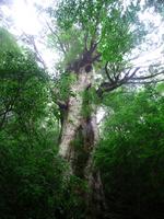 Yakushima Great cedar Stock photo [1143192] Great