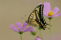 Yellow swallowtail and Cosmos Stock photo [1147114] Natural