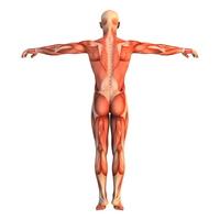 Human body [1248023] Skeleton