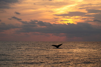 Sunset and whale Stock photo [1248821] Zamami