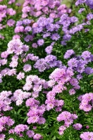 Aster Stock photo [1337452] Aster