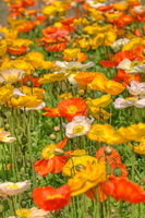 Poppy Stock photo [1338266] Poppy