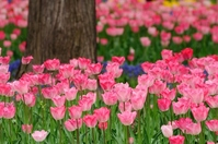 Tulip Stock photo [1338991] Plant